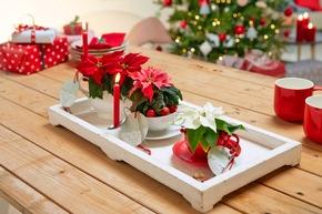 Kerzenlicht und Weihnachtssterne verbreiten in der Weihnachtszeit festliches Ambiente.