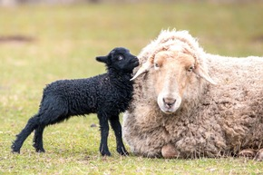 Die Lämmer der Ouessant-Schafe wurden bereits im April geboren (hier mit Wollschaf abgebildet)