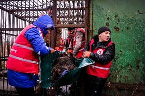 Mashutka wird vom VIER PFOTEN Team auf einer Plane aus ihrem Käfig getragen © VIER PFOTEN | Bogdan Baraghin
