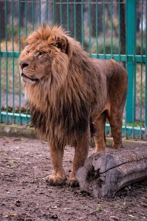 Vernachlässigte Löwen im Razgrad Zoo, Bulgarien (c) VIER PFOTEN, Bogdan Baraghin