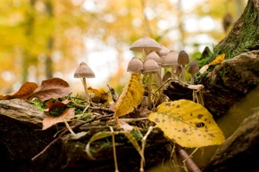 Pilze wachsen im herbstlichen FriedWald.