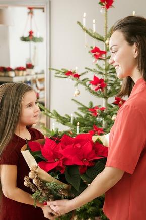 Was wäre Weihnachten ohne Weihnachtssterne? Die symbolträchtige Pflanze ist fester Bestandteil der Weihnachtstradition und -dekoration und ein ebenso einfaches wie schönes Geschenk.