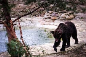 Endlich raus aus dem Käfig! Die ehemalige Kampfbärin Mashutka ist sicher im VIER PFOTEN Bärenschutzzentrum angekommen © VIER PFOTEN | Bogdan Baraghin