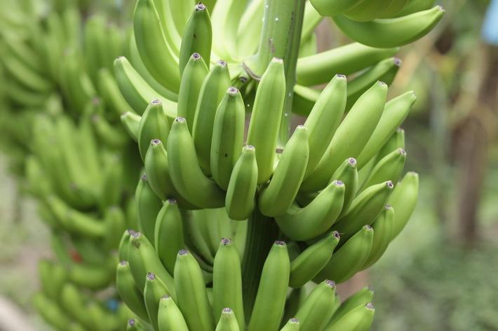 """Lidl Schweiz stellt auf Fairtrade-Bananen um. Sukzessive Umstellung: Ab Anfang November bereits die Hälfte aller Bananen Fairtrade-zertifiziert. Bilder: Fairtrade Max Havelaar Weiterer Text über ots und www.presseportal.ch/de/nr/100016795 / Die Verwendung dieses Bildes ist für redaktionelle Zwecke honorarfrei. Veröffentlichung bitte unter Quellenangabe: """"obs/LIDL Schweiz/Fairtrade Max Havelaar"""""""