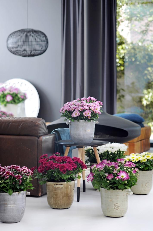 Mit Zimmerpflanzen das Zuhause aufblühen lassen - Alle Zeichen auf Sommer mit der Chrysantheme