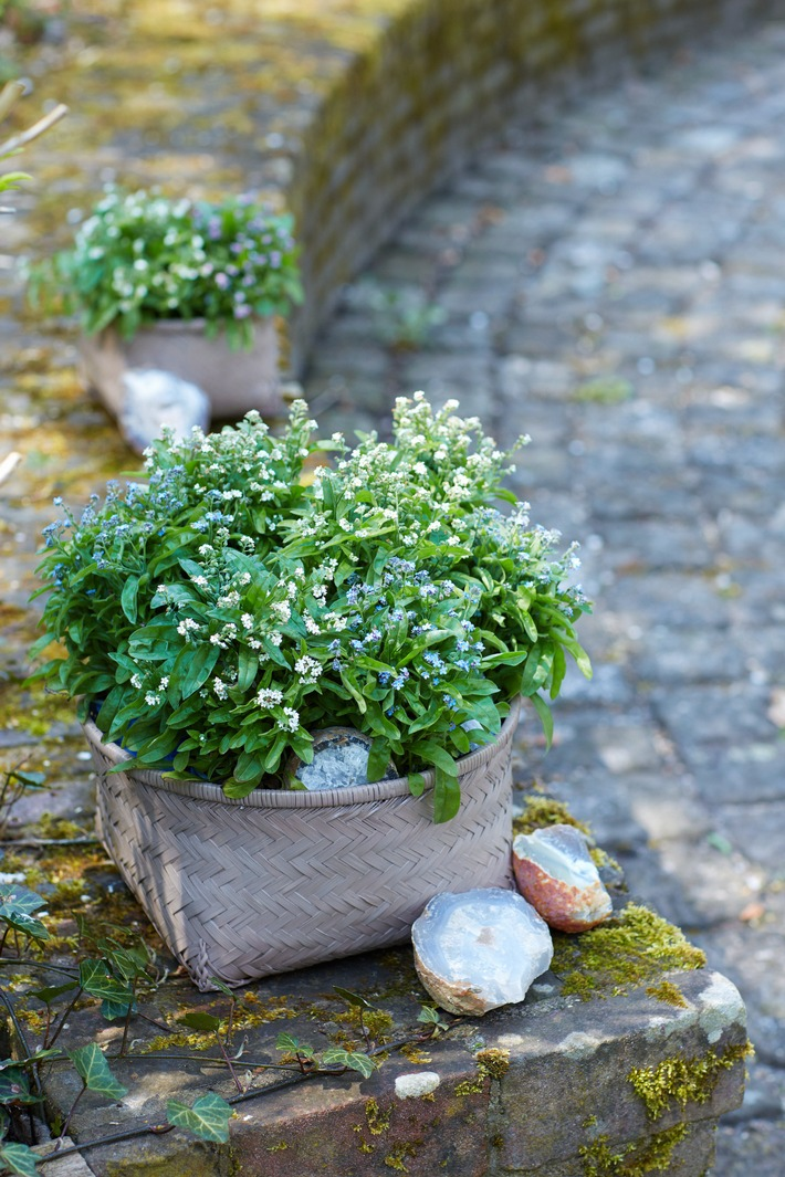 Kreativer Wintergarten mit Stechpalmen, Vergissmeinnicht und Traubenhyazinthen - Drei DIYs für Winterwonne im Garten