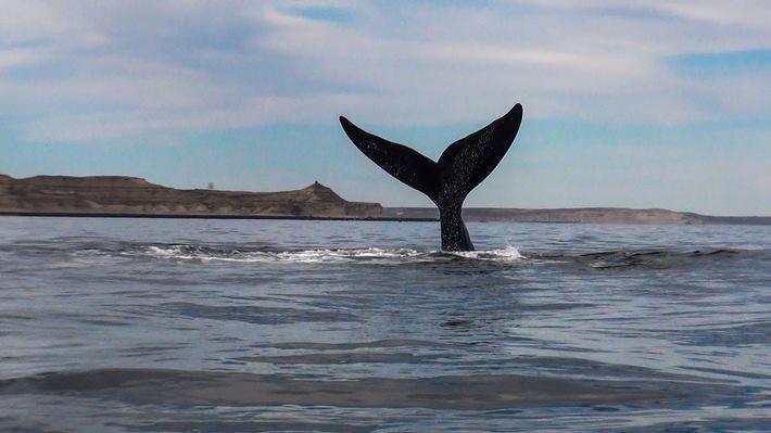 Jahr für Jahr werden in den Monaten August bis Dezember die Küsten und Buchten der argentinischen Provinzen Río Negro, Chubut, Santa Cruz und Feuerland von einzigartigen Meerestieren besucht. Pinguine, Wale, Seelöwen, Delfine und sogar Schwertwale grüßen von der Atlantikküste aus und bieten ein bewundernswertes Schauspiel. / Weiterer Text über ots und www.presseportal.de/nr/152361 / Die Verwendung dieses Bildes ist für redaktionelle Zwecke unter Beachtung ggf. genannter Nutzungsbedingungen honorarfrei. Veröffentlichung bitte mit Bildrechte-Hinweis.