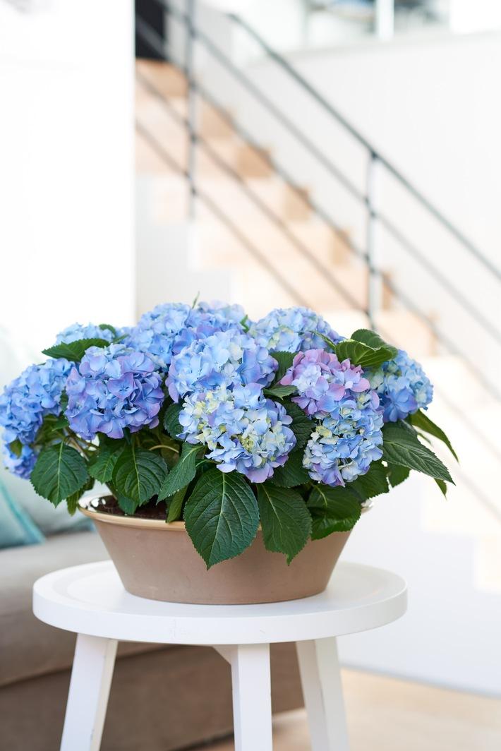 Wenn sie ihre Blüten blicken lässt, ist der Frühling offiziell angekommen - Es ist so weit: Die Hortensie ist wieder da