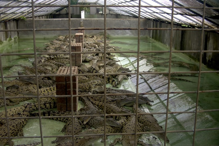 """Reptilienleder. Farmhaltung von Krokodilen (Australien) - Bildquelle: commons.wikimedia.com / CC BY-SA 3.0 / Weiterer Text über ots und www.presseportal.ch/de/nr/100019041 / Die Verwendung dieses Bildes ist für redaktionelle Zwecke honorarfrei. Veröffentlichung bitte unter Quellenangabe: """"obs/Schweizer Tierschutz STS"""""""