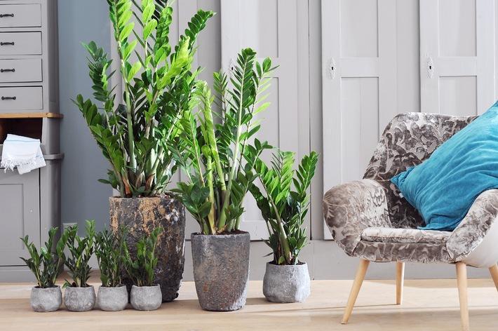Zamioculcas ist Zimmerpflanze des Monats September / Z wie Zamioculcas: Die Superheldin der Zimmerpflanzen (BILD)