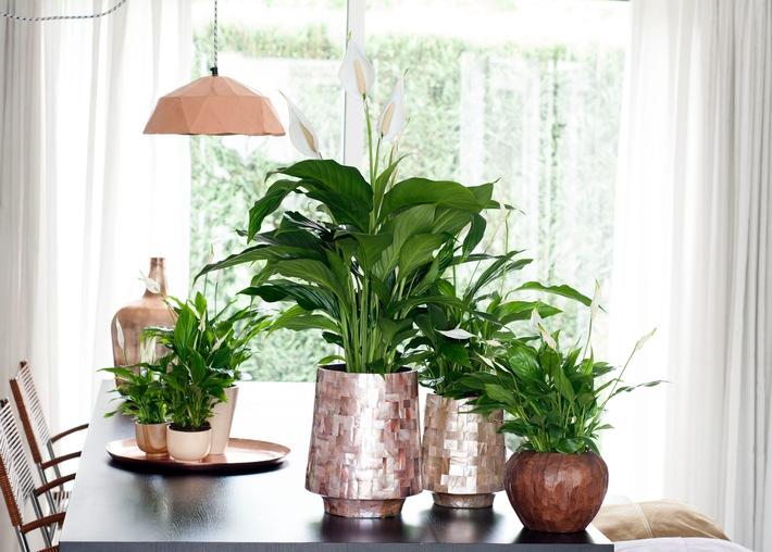 Einblatt Ist Zimmerpflanze Des Monats Juni Das Einblatt Sorgt