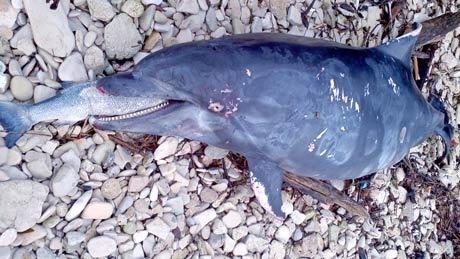 Extrem seltene Jagdmethode bei Delfinen im Golf von Mexiko entdeckt: Weg mit dem Fischkopf