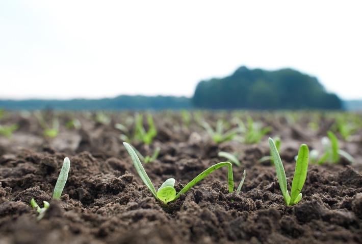 """Spinatpflanze im frühen Wachstum. Weiterer Text über ots und www.presseportal.de/nr/54941 / Die Verwendung dieses Bildes ist für redaktionelle Zwecke honorarfrei. Veröffentlichung bitte unter Quellenangabe: """"obs/iglo Deutschland"""""""