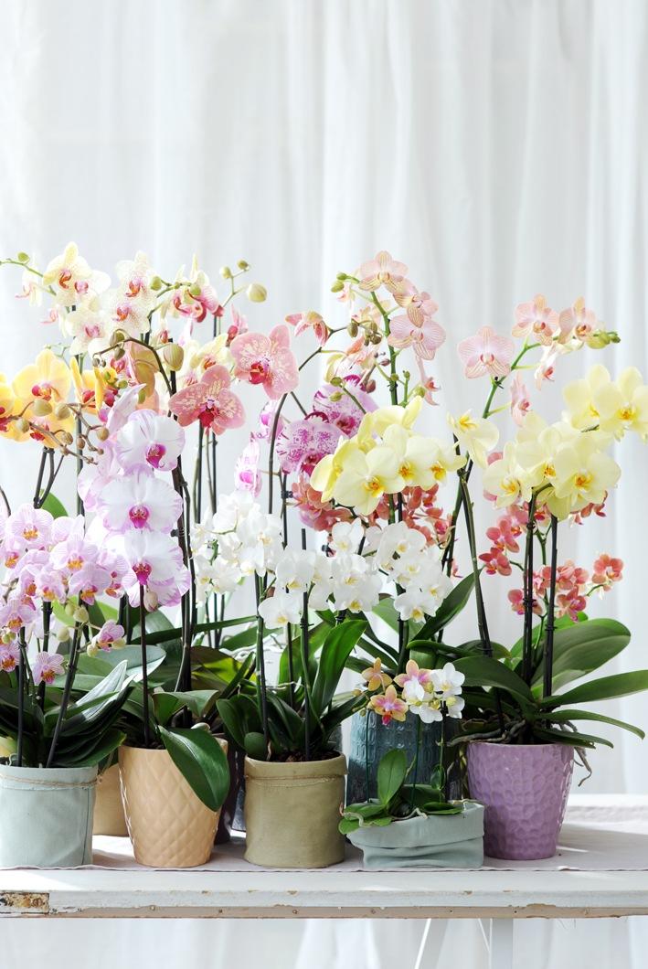 Phalaenopsis ist Zimmerpflanze des Monats Dezember / Zarter Jahresabschluss mit der Phalaenopsis in Pastell