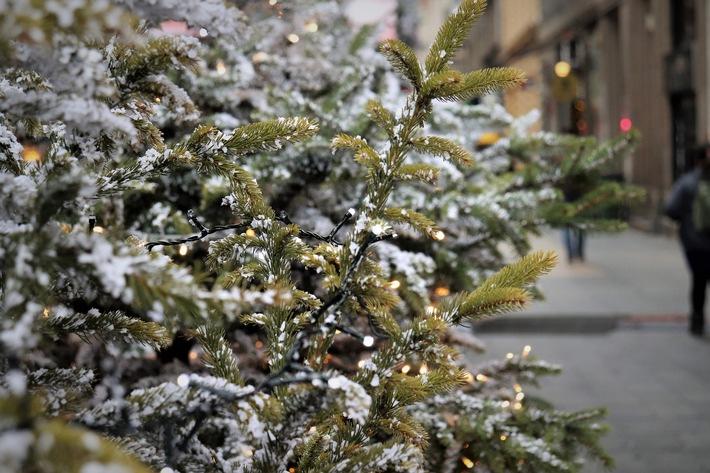 Nachhaltige Weihnachtsbäume im Topf - die Tanne ist besonders geeignet