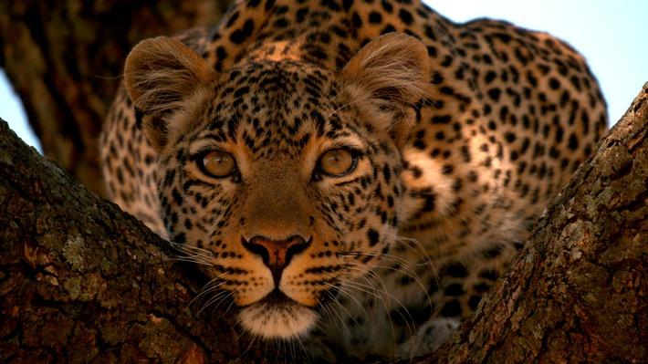 Der Leopard mit den Jade-Augen (© Wildlife Films) / Weiterer Text über ots und www.presseportal.de/nr/107839 / Die Verwendung dieses Bildes ist für redaktionelle Zwecke unter Beachtung ggf. genannter Nutzungsbedingungen honorarfrei. Veröffentlichung bitte mit Bildrechte-Hinweis.