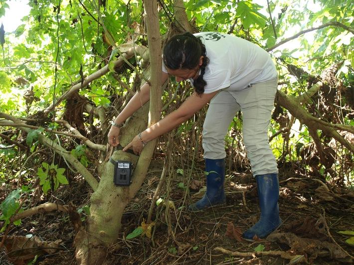 """Wildkameras zeigen: Auf den Farmen, die am EDEKA-WWF-Bananenprojekt teilnehmen, kehrt die Tierwelt - wie Tigerkatze oder Baumstachler - zurück. Weiterer Text über ots und www.presseportal.de/nr/51907 / Die Verwendung dieses Bildes ist für redaktionelle Zwecke honorarfrei. Veröffentlichung bitte unter Quellenangabe: """"obs/EDEKA ZENTRALE AG & Co. KG"""""""