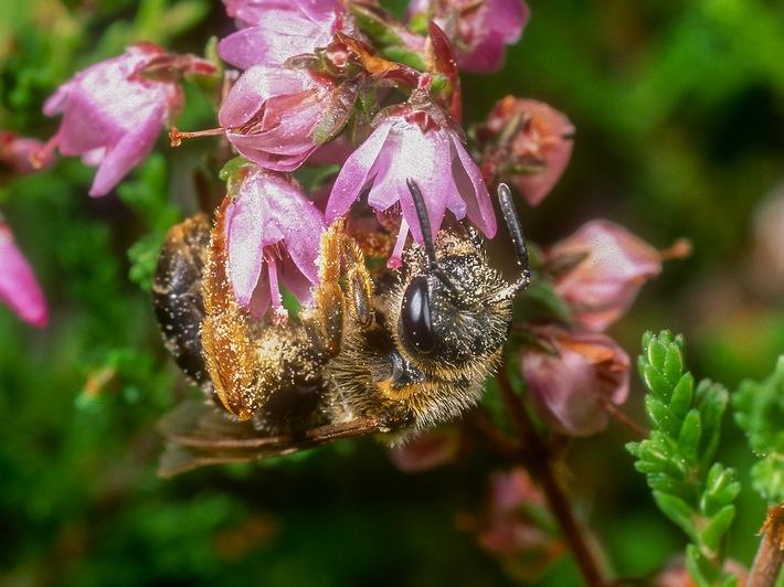 in Das ist der Silvester-Knaller: Gefährdete Wildbienen fliegen auf HamburgExperten der Deutschen Wildtier Stiftung finden bei ihrer Inventur im Norden Deutschlands Rote-Liste-Wildbienenarten