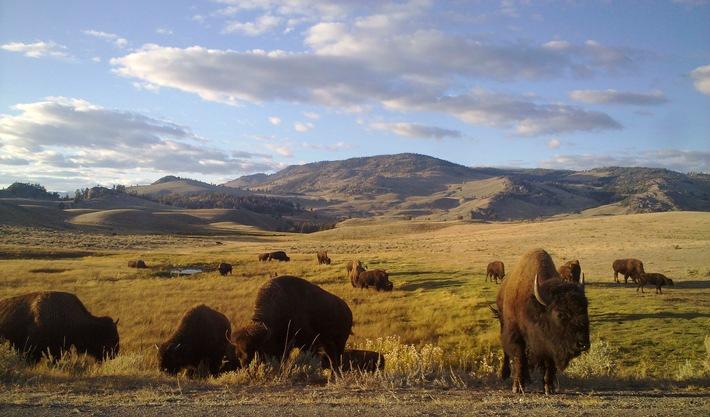 """""""Yellowstone: 40 Jahre UNESCO-Weltnaturerbe"""" am 8. September mit 6 Programmen auf Nat Geo Wild. Nat Geo Wild feiert Yellowstone-Nationalpark mit Sonderprogrammierung. Weiterer Text über ots und www.presseportal.de/nr/107839 / Die Verwendung dieses Bildes ist für redaktionelle Zwecke honorarfrei. Veröffentlichung bitte unter Quellenangabe: """"obs/Nat Geo Wild/© Doclights GmbH/NDR Naturfilm"""""""