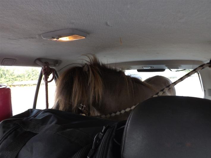 Bild Pferd im PKW