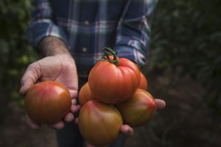 Tomaten aus südpanischen Solargewächshäusern.jpg