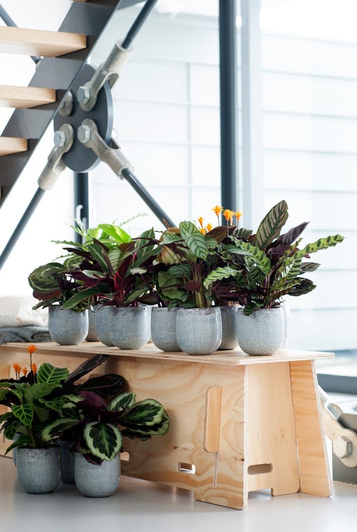 Calathea ist Zimmerpflanze des Monats September / Amazonas-Flair zu Hause mit der erfrischenden Calathea