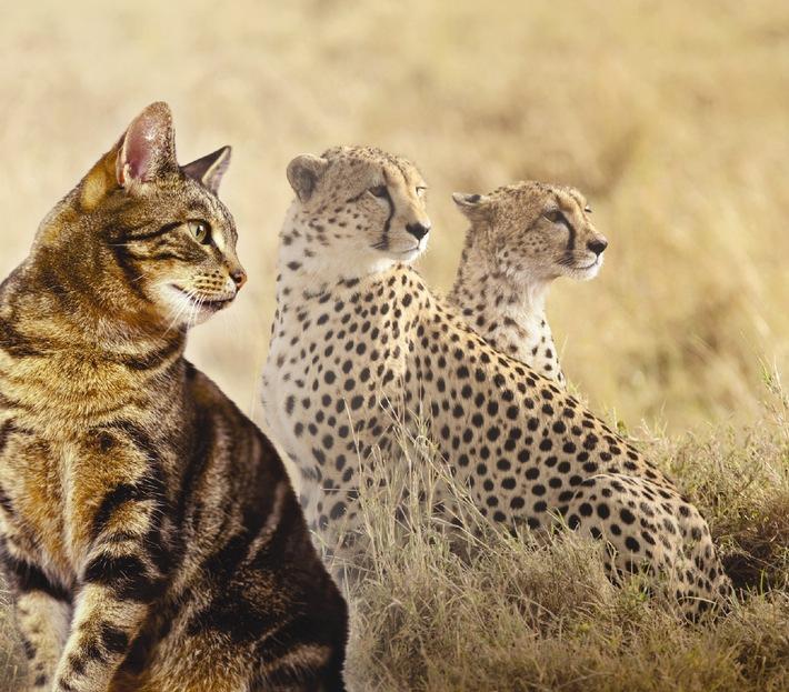 """Selbst die bedrohten Geparden werden im Rahmen des Auf- und Nachzuchtprogramms des De Wildt Cheetah & Wildlife Trust Zentrums in Südafrika seit fast 20 Jahren mit IAMS-Trockennahrung für Katzen versorgt. Ihre tägliche Mahlzeit besteht zu 75% aus IAMS-Trockenfutter und zu 25% aus Fleisch. Weitere Informationen zum De Wildt Cheetah und Wildlife Trust Zentrum finden Sie unter www.dewildt.org.za. Die Verwendung dieses Bildes ist für redaktionelle Zwecke honorarfrei. Abdruck bitte unter Quellenangabe: """"obs/Procter & Gamble Germany GmbH & Co Operations oHG"""""""