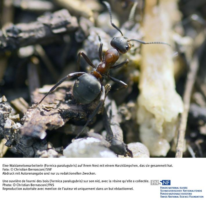 SNF: Bild des Monats Juni 2007 : Harz - das Antibiotikum der Ameisen