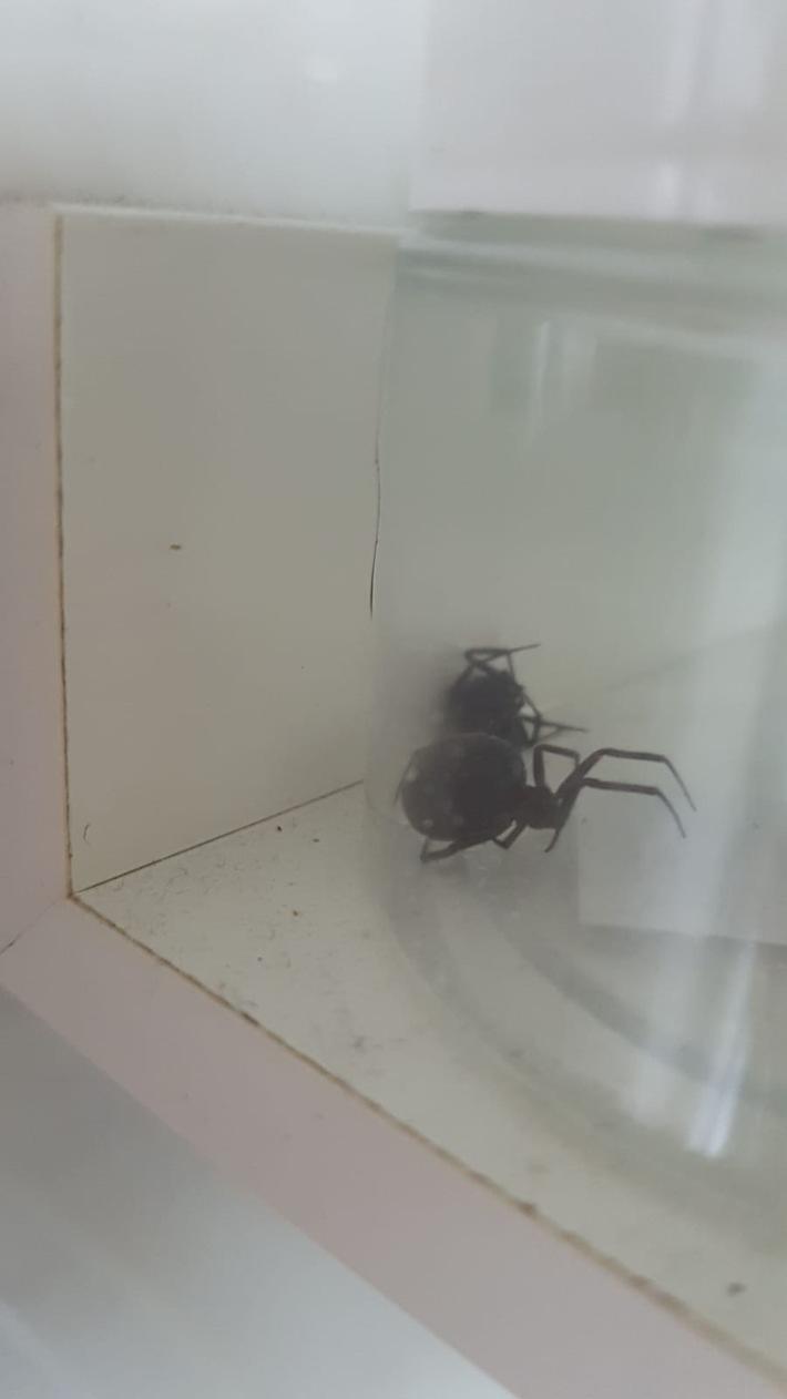 Anhand dieses Bildes konnte der Experte der Feuerwehr Düsseldorf die Spinnenart genauer bestimmen.