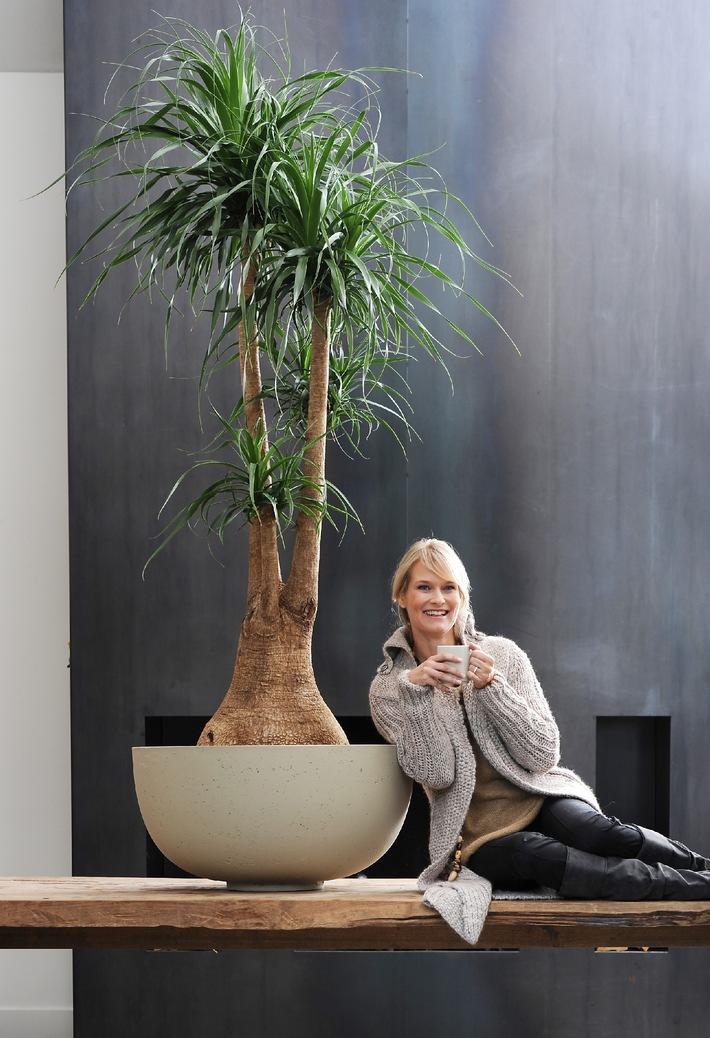 elefantenfu ist zimmerpflanze des monats januar mit dem. Black Bedroom Furniture Sets. Home Design Ideas