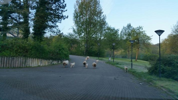 POL-HA: Wissbegierige Schafe lösen Polizeieinsatz aus