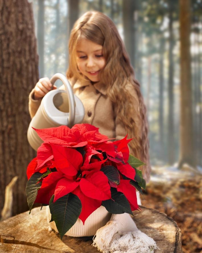 Der pflegeleichte Weihnachtsstern ist geeignet als erstes grünes Projekt für Kinder. Regelmäßige, kleine Portionen zimmerwarmen Wassers dankt er mit strahlender Schönheit.