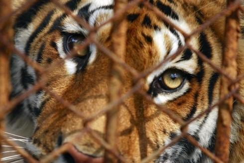 Eingesperrt auf einer chinesischen Tigerfarm (c) IFAW