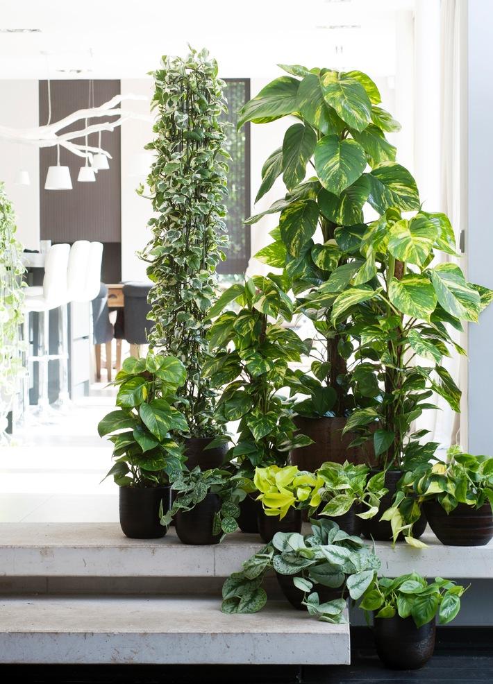 Efeutute ist die Zimmerpflanze des Monats Februar / Die Efeutute verbreitet Power und schafft gesundes Raumklima