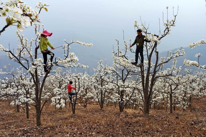 """Ausgerottet: In einem Obstanbaugebiet Chinas summt keine Biene mehr! """"Green Seven 2015: Save the Bees"""" auf ProSieben  Totenstille. Seit 25 Jahren. Kein Vogel fliegt. Keine Biene summt. In einem der wichtigsten Obstanbaugebiete Chinas in Sichuan lebt nahezu kein Tier mehr - weder in der Luft, noch im Boden. Was bedeutet das? Menschen muessen die Arbeit der Bienen uebernehmen - andernfalls waechst kein Apfel, keine Birne, keine Beere. Wie kam es dazu? Die Antwort gibt es bei """"Green Seven 2015: Save the Bees"""" ab Mittwoch, 17. Juni 2015, auf ProSieben.    """"Green Seven Report: Bienen Alarm. Warum die Welt um die Bienen kämpft"""" am 21. Juni 2015, auf ProSieben  Motiv: China  Foto: © ProSieben  Dieses Bild darf bis Ende Juni 2015 honorarfrei fuer redaktionelle Zwecke und nur im Rahmen der Programmankuendigung verwendet werden. Spaetere Veroeffentlichungen sind nur nach Ruecksprache und ausdruecklicher Genehmigung der ProSiebenSat1 TV Deutschland GmbH moeglich. Verwendung nur mit vollstaendigem Copyrightvermerk. Das Foto darf nicht veraendert, bearbeitet und nur im Ganzen verwendet werden. Es darf nicht archiviert werden. Es darf nicht an Dritte weitergeleitet werden. Nicht für EPG! Bei Fragen: 089/9507-1167. Voraussetzung fuer die Verwendung dieser Programmdaten ist die Zustimmung zu den Allgemeinen Geschaeftsbedingungen der Presselounges der Sender der ProSiebenSat.1 Media AG. Weiterer Text über ots und www.presseportal.de/pm/25171 / Die Verwendung dieses Bildes ist für redaktionelle Zwecke honorarfrei. Veröffentlichung bitte unter Quellenangabe: """"obs/ProSieben Television GmbH"""""""