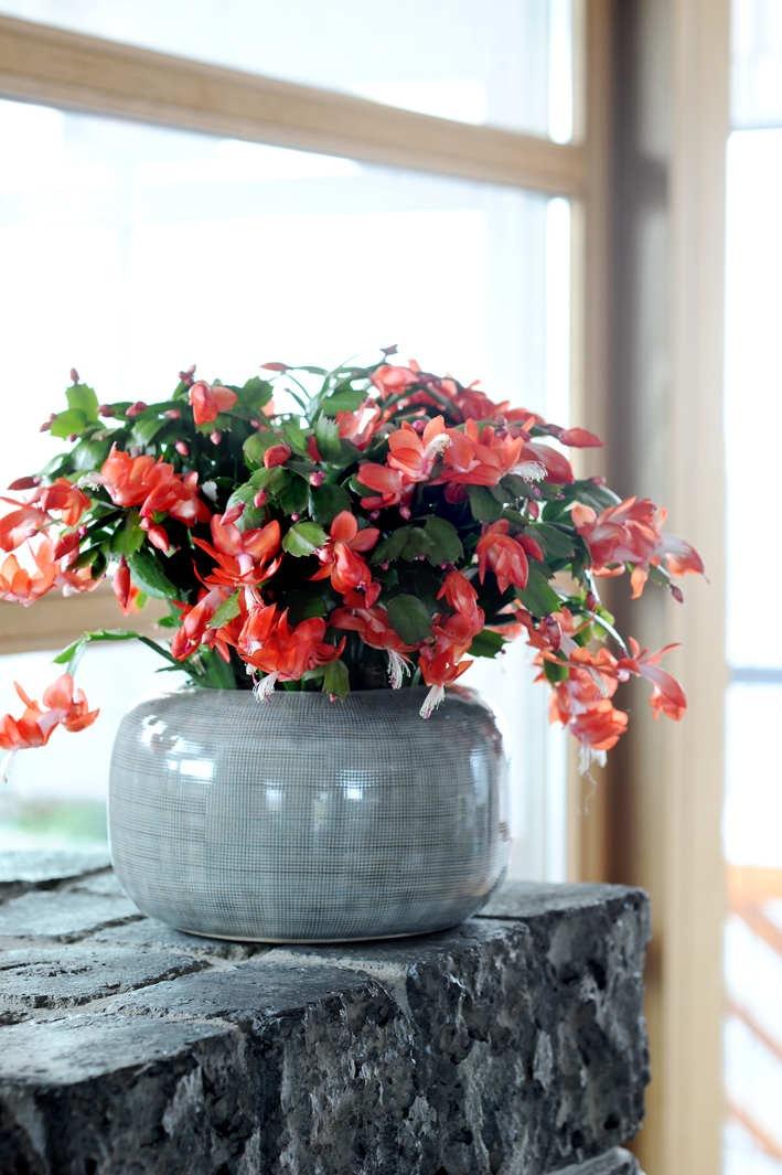 Weihnachtskaktus ist Zimmerpflanze des Monats November / Farbenfroher Muntermacher: Der Weihnachtskaktus