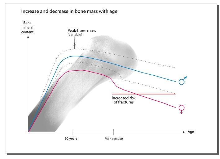 Schutz vor Osteoporose - Knochen, ein lebendes Gewebe