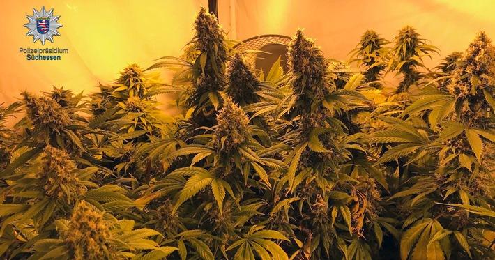 Sichergestellte Cannabispflanzen