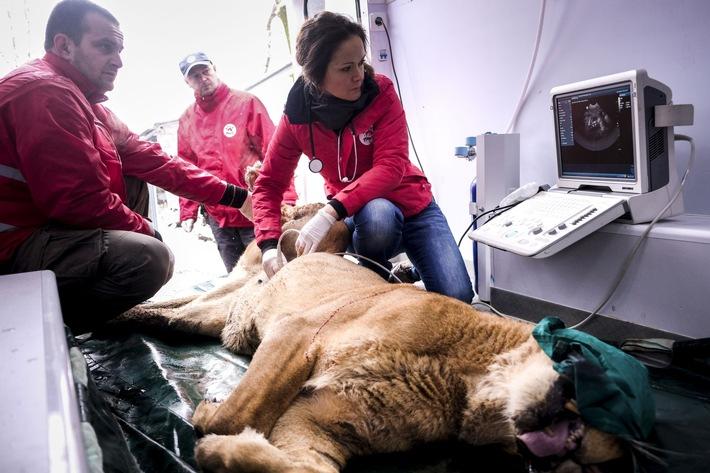 Tierärzte von VIER PFOTEN untersuchen die trächtige Löwin Raya mit dem Ultraschallgerät © VIER PFOTEN, Bogdan Baraghin