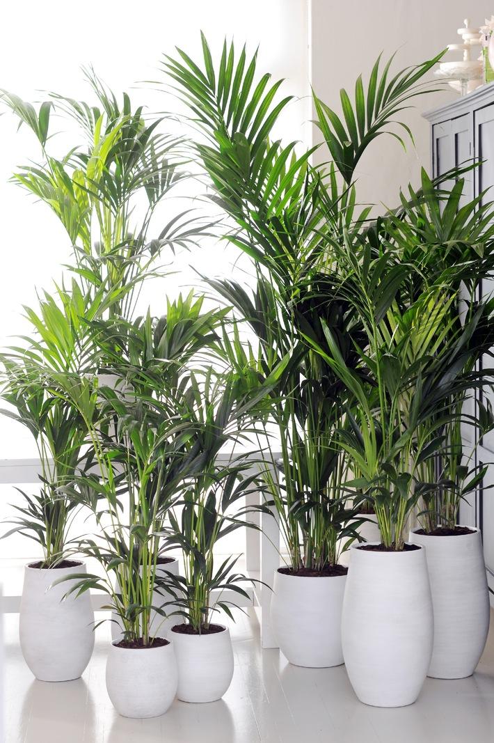 Howea ist Zimmerpflanze des Monats Januar / Frischer Start ins neue Jahr: Die Kentia Palme