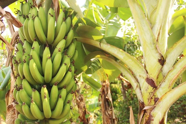 """GLOBALG.A.P., World Banana Forum und REWE Group fordern Kampf gegen Bananen-Erreger Weiterer Text über ots und www.presseportal.de/nr/115977 / Die Verwendung dieses Bildes ist für redaktionelle Zwecke honorarfrei. Veröffentlichung bitte unter Quellenangabe: """"obs/GLOBALG.A.P. Foodplus GMBH/Shutterstock"""""""