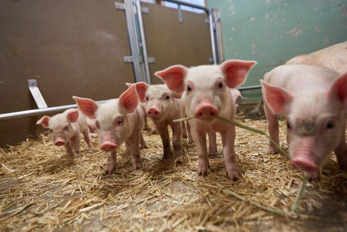 """Kooperation mit dem Schweizer Tierschutz STS / Lidl Bio Terra Natura Schweine. Weiterer Text über ots und www.presseportal.ch/de/nr/100016795 / Die Verwendung dieses Bildes ist für redaktionelle Zwecke honorarfrei. Veröffentlichung bitte unter Quellenangabe: """"obs/LIDL Schweiz"""""""