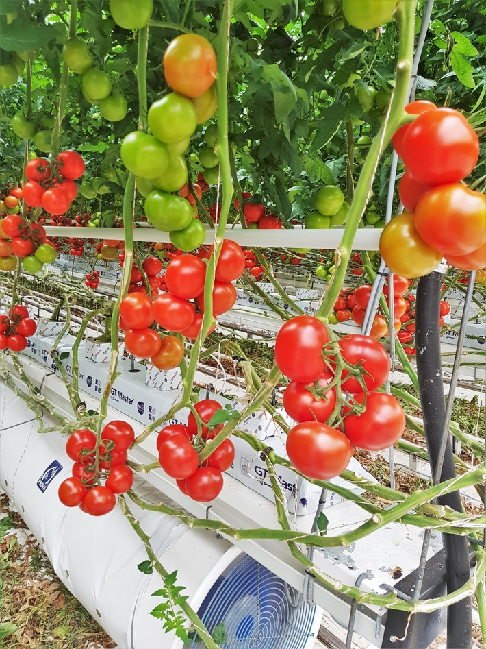 Tomaten Wachstum mit Zero-Residue von B+H Solutions.jpg