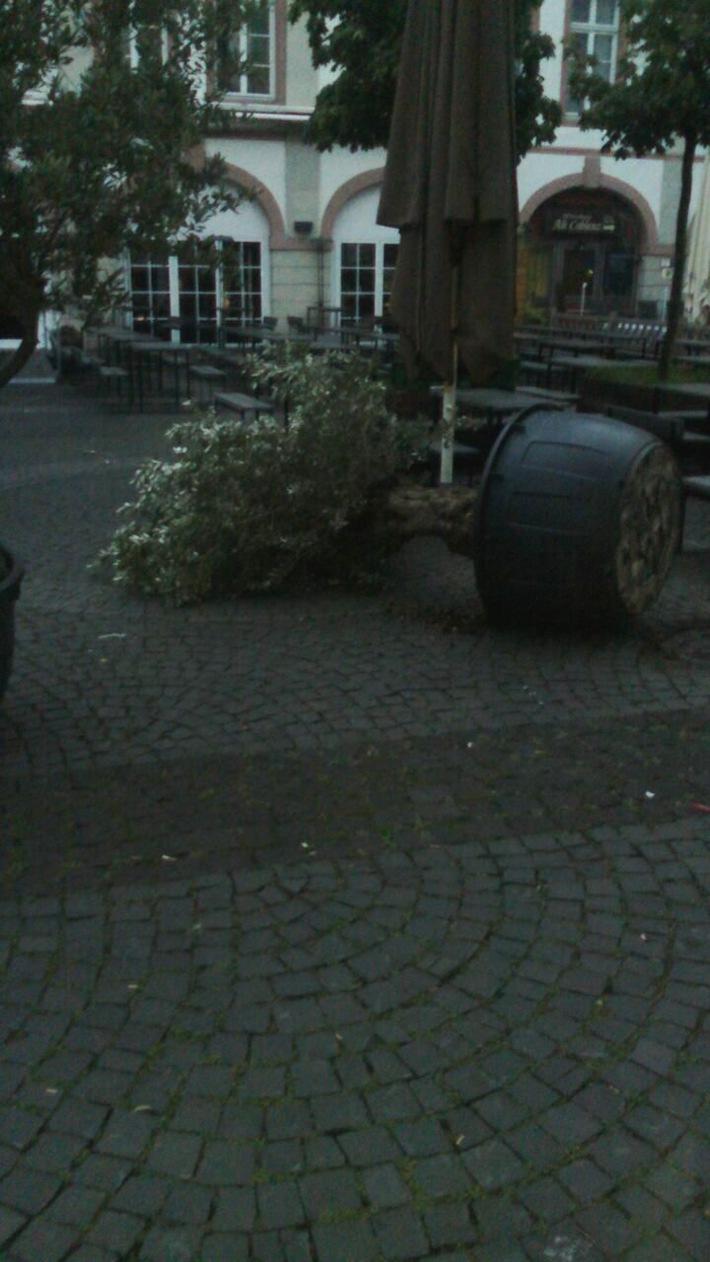 Umgeworfener Olivenbaum