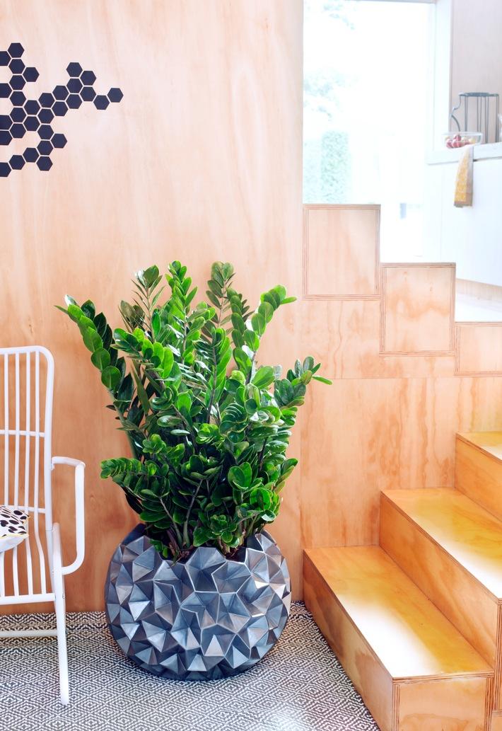 ▷ Zamioculcas ist Zimmerpflanze des Monats Juni / Widerstandsfähige ...