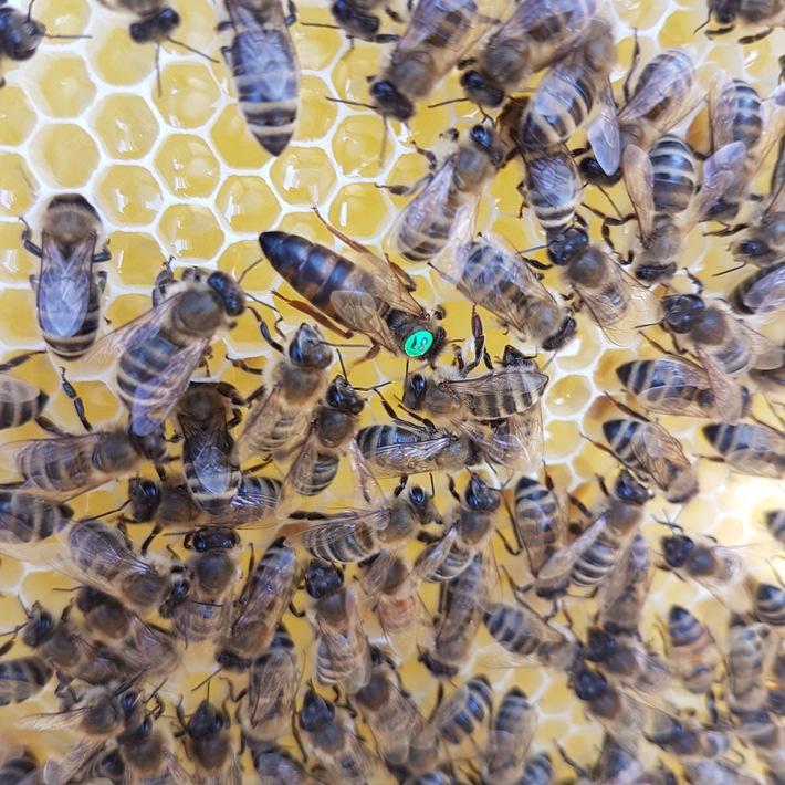 E WIE EINFACH kooperiert mit Impact Start-up HEKTAR NEKTAR und schenkt 250.000 Bienen ein neues Zuhause / Bienen mit Königin / Weiterer Text über ots und www.presseportal.de/nr/69289 / Die Verwendung dieses Bildes ist für redaktionelle Zwecke unter Beachtung ggf. genannter Nutzungsbedingungen honorarfrei. Veröffentlichung bitte mit Bildrechte-Hinweis.