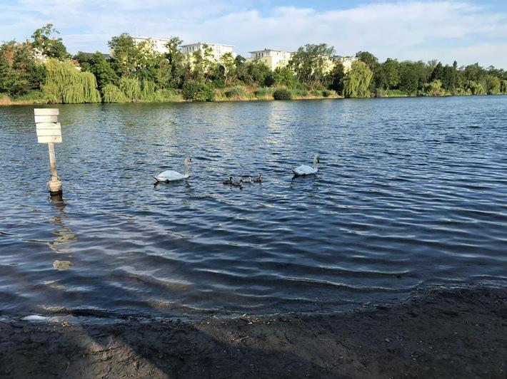 Schwanenfamilie auf dem Wasser