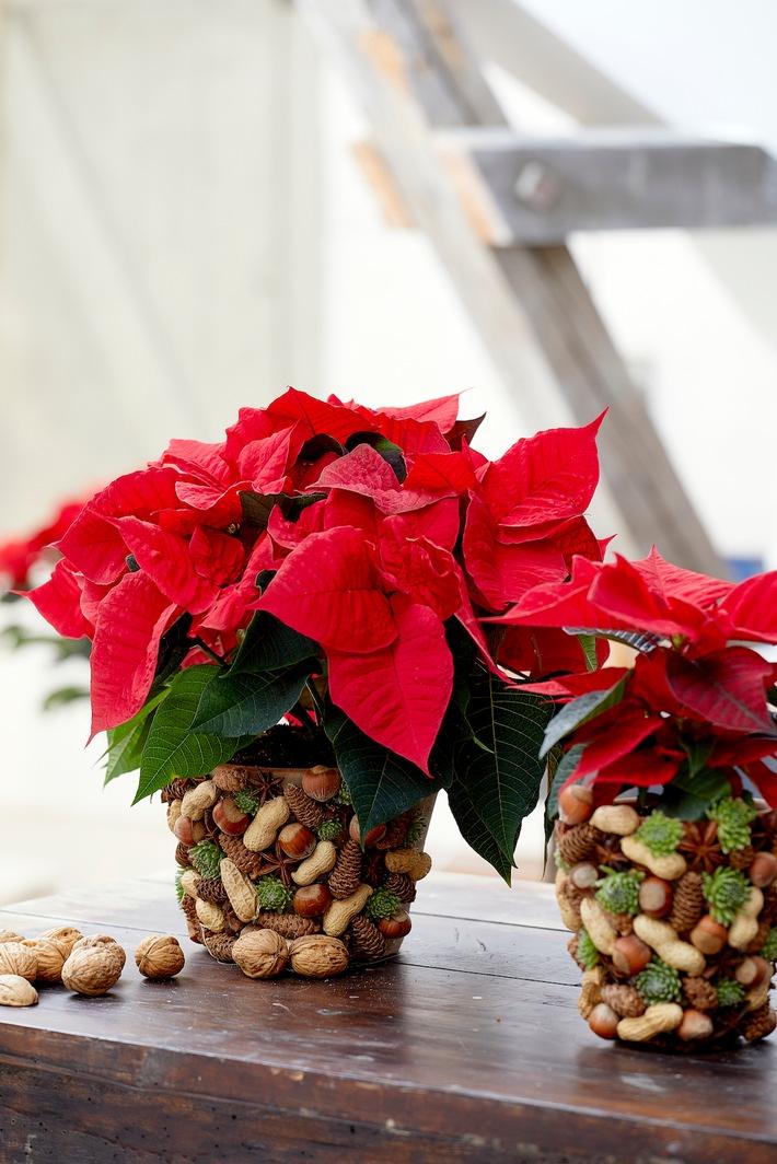 Harte Schale, weicher Kern: Nüsse haben in der Weihnachtszeit eine lange Tradition. Kein Nikolausteller kommt ohne sie aus!