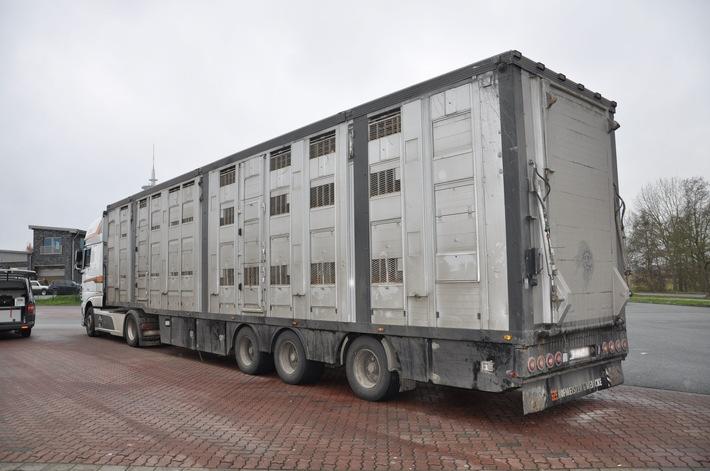 An der B4 kontrollierter Tiertransporter - beladen mit 170 Schweinen