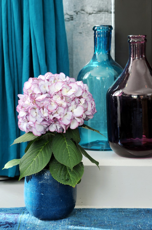 Hortensie Ist Zimmerpflanze Des Monats Marz Farbenfroher